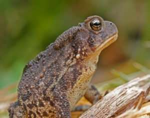 American Toad Profile by Ozark Stream Photography I love having toads and frogs in my gardens. This American Toad is great at keeping insect numbers in check!