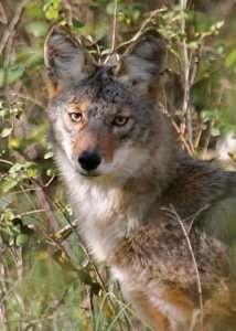 Coyote of the Ozarks photo by Gail E Rowley Ozark Stream Photography