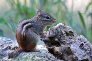 Eastern Chipmunk by Ozark Stream Photography Eastern Chipmunks like woodlands with openings to sunlight and varieties of foods from seeds to worms.