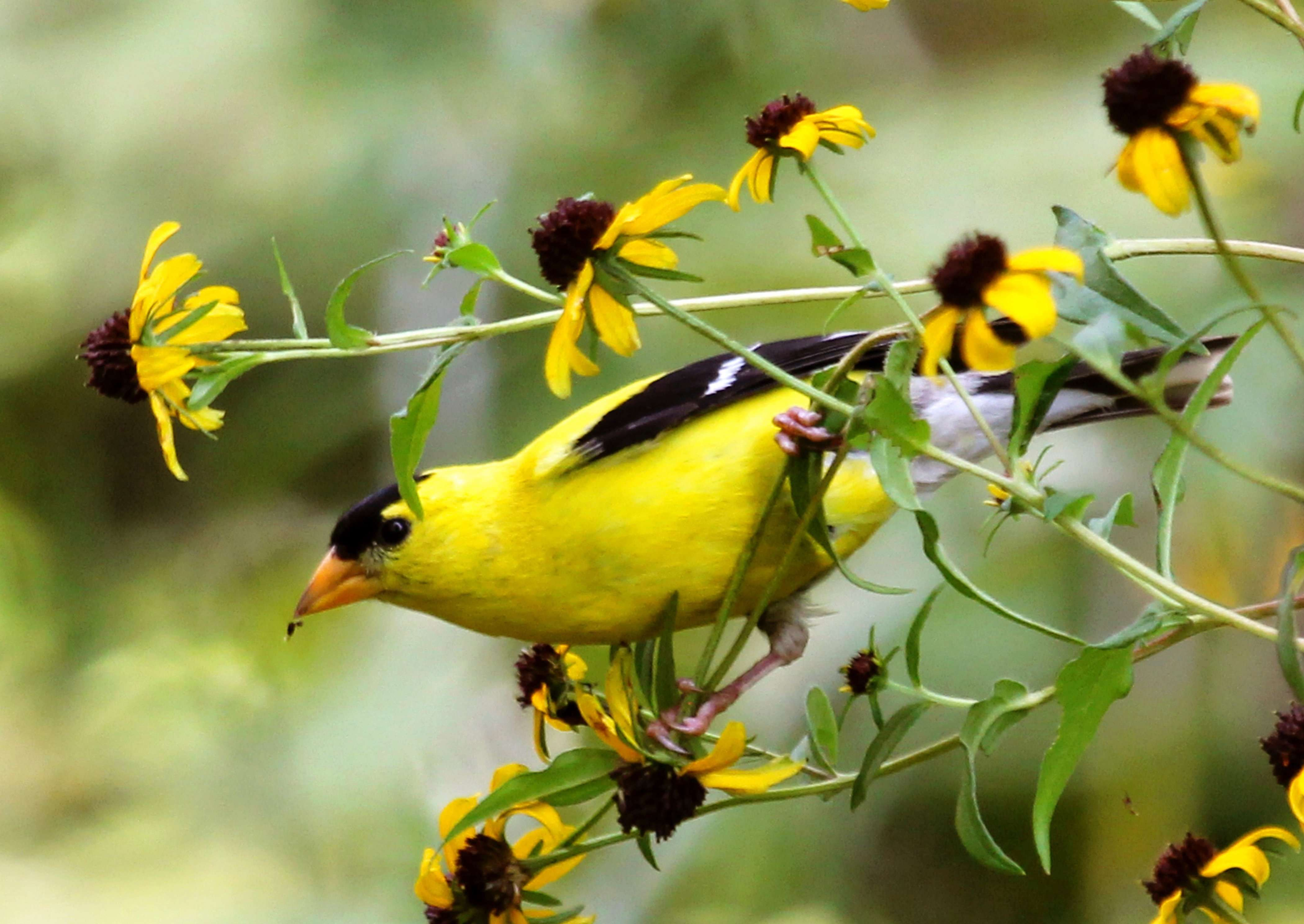 Male Goldfinch eats seeds of Coreopsis photo by Gail E Rowley Ozark Stream Photography