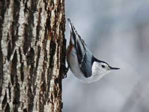 White-breasted Nuthatch on Walnut tree trunk photo by Gail E Rowley Ozark Stream Photography