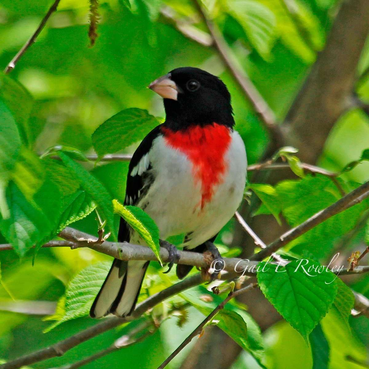 Rose-breasted Grosbeak in Spring photo by Gail E Rowley Ozark Stream Photography