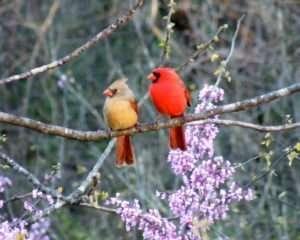 Male & female Cardinal sit in Redbud tree photo by Gail E Rowley Ozark Stream Photography