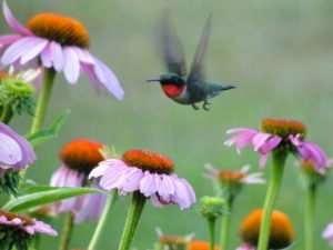 Male Ruby-throated Hummingbird flies over Echinacea purpurea photo by Gail E Rowley Ozark Stream Photography