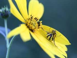 Crab Spider on Wingstem photo by Gail Rowley Crab Spiders have excellent camouflage