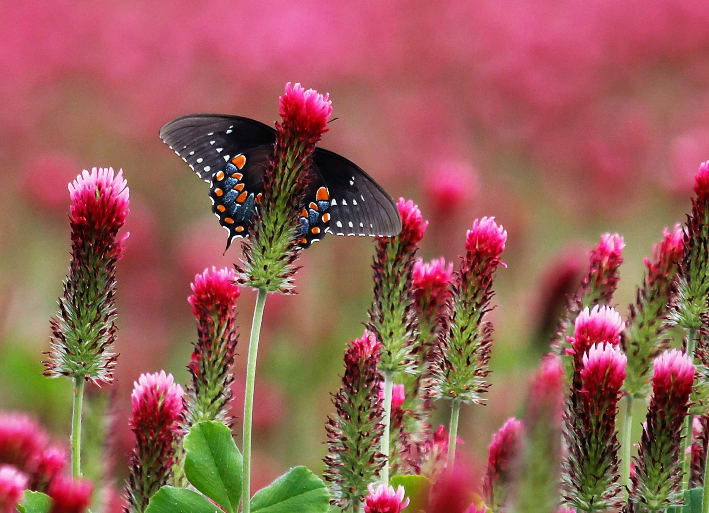 Spicebush Swallowtail in blooming crimson clover field photo by Gail E Rowley Ozark Stream Photography