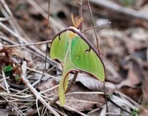 Luna Moth photo by Gail E Rowley Ozark Stream Photography Luna Moth in Ozark woodland