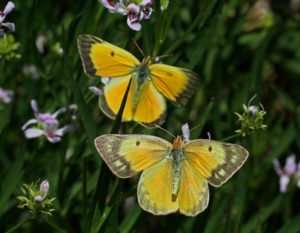Male & female Orange Sulphur butterflies on Water Willows photo by Gail E Rowley Ozark Stream Photography