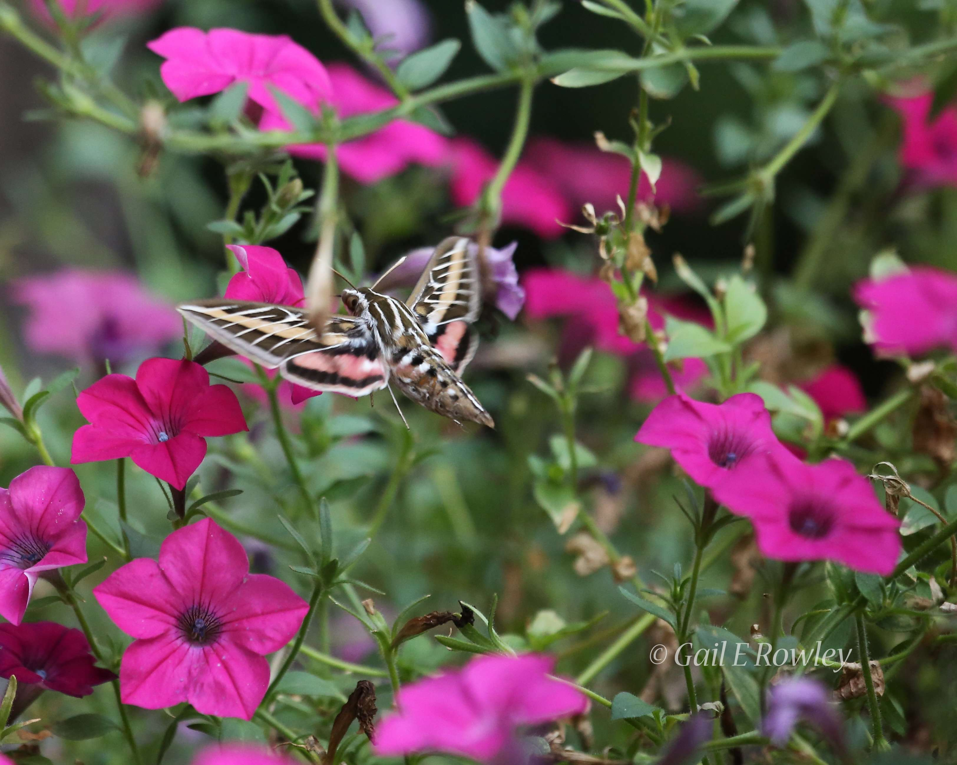 White-lined Sphinx & Petunias photo by Gail E Rowley Ozark Stream Photography