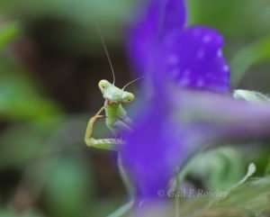 Immature Praying Mantis - Green photo by Gail E Rowley Ozark Stream Photography