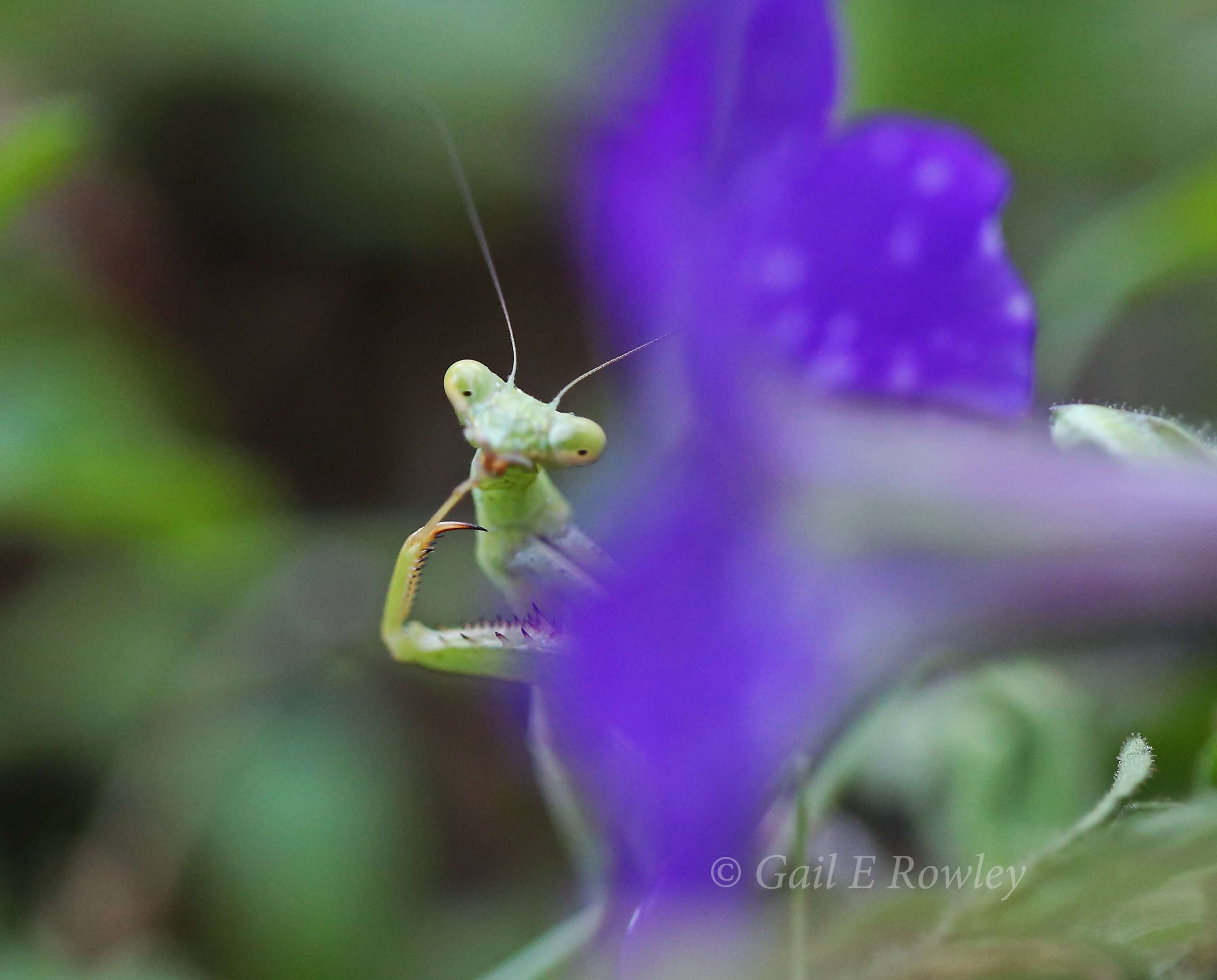 Immature Praying Mantis - Green photo by Gail E Rowley Ozark Stream Photography