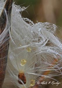 Asclepias Tuberosa Seeds