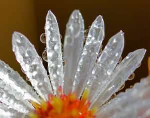 Native White Aster Blossom in Dew
