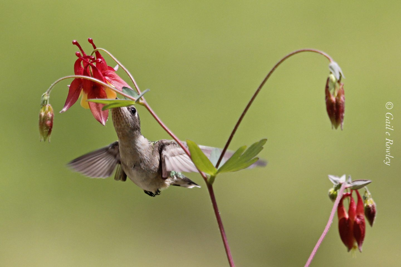 Hummingbird on Columbine