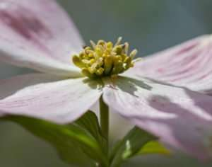 Macro photo of native pink dogwood blossom photo by Gail E Rowley Ozark Stream Photography