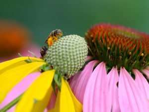 photography by Gail Rowley Native Gray Headed Coneflower and Purple Coneflower give nectar to important, tiny native bees.