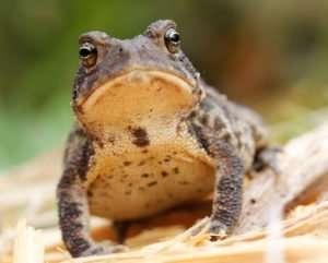 American Toad lives in Ozarks