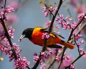 Male Baltimore Oriole likes nectar of Redbud tree blossoms