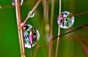 Purple Lovegrass, Eragrostis spectabilis, is native to Missouri. Dew reflects the prairie grasses nearby