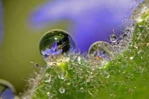 Dewdrops reflect nearby native Salvia azurea blossom