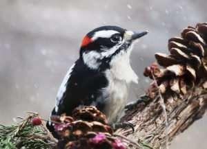 Male Downy Woodpecker loves peanut butter & suet in winter
