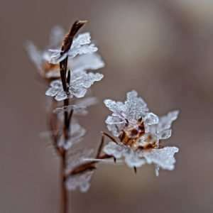 """Ice """"Flowers"""" on Wild Aster in Ozarks"""