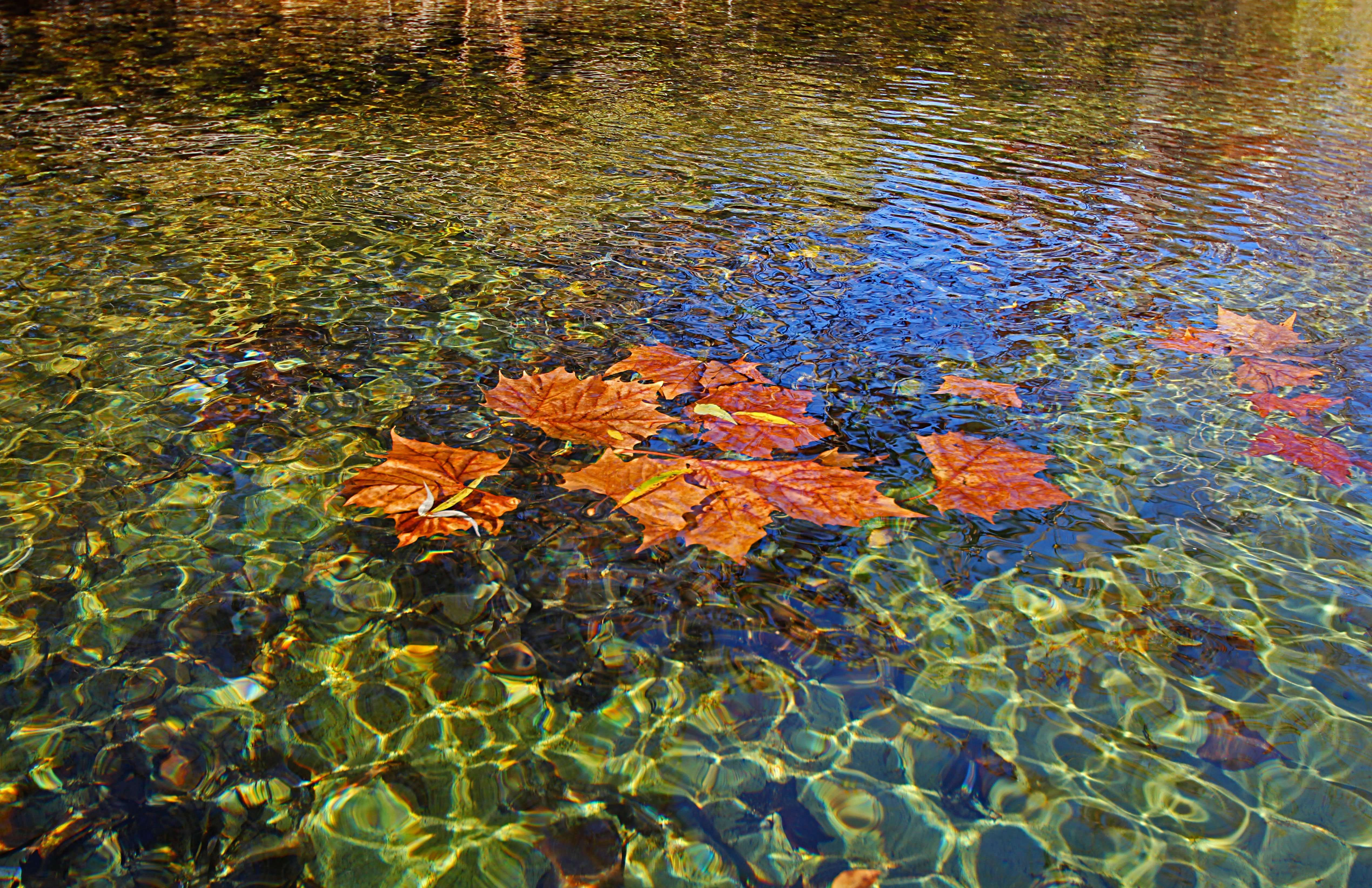 October's healthy streams are gorgeous in October - Leaves on Water shows Sycamore leaves floating on a clean Ozark stream