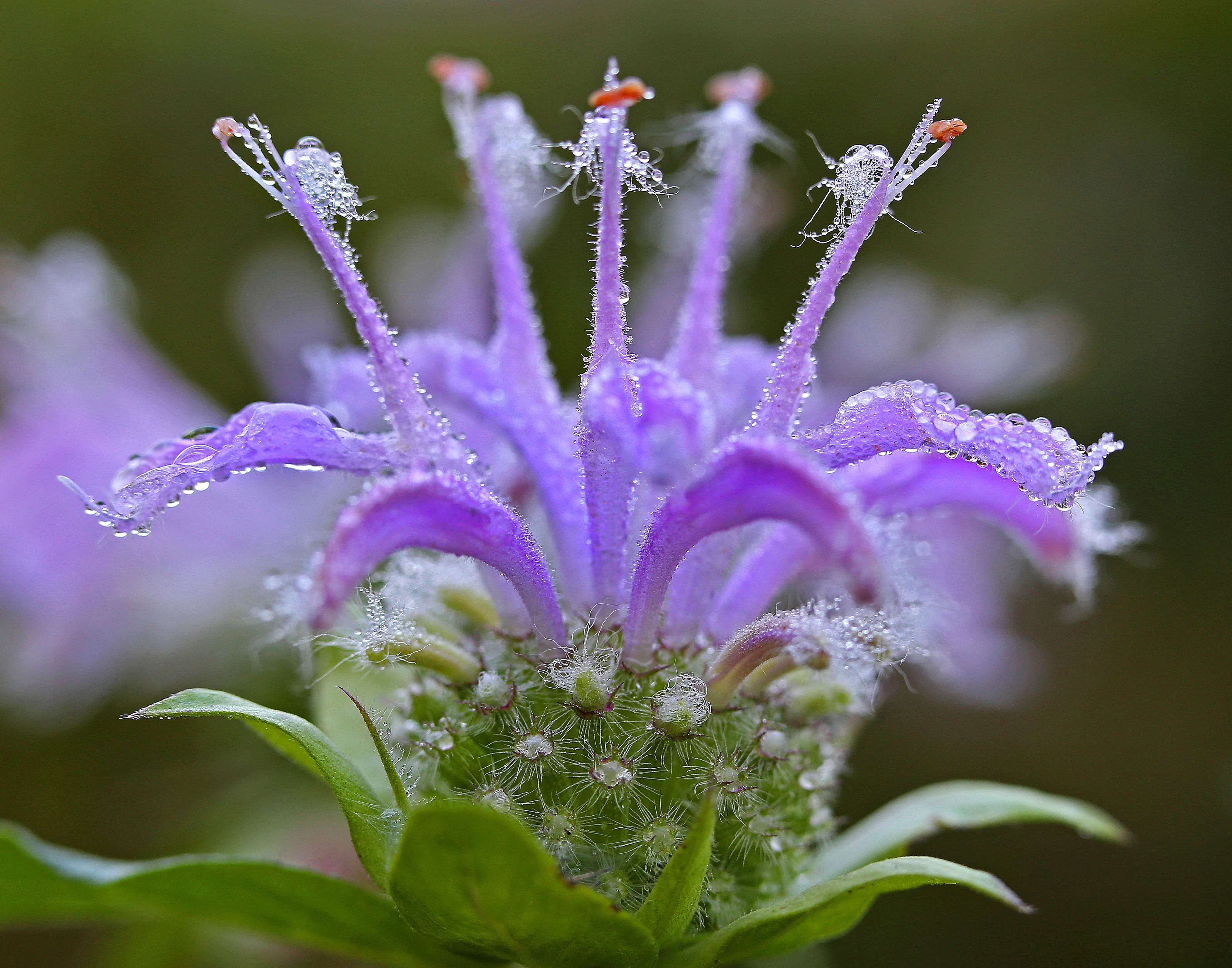 Monarda fistulosa wild native bee balm beautiful dew and colors