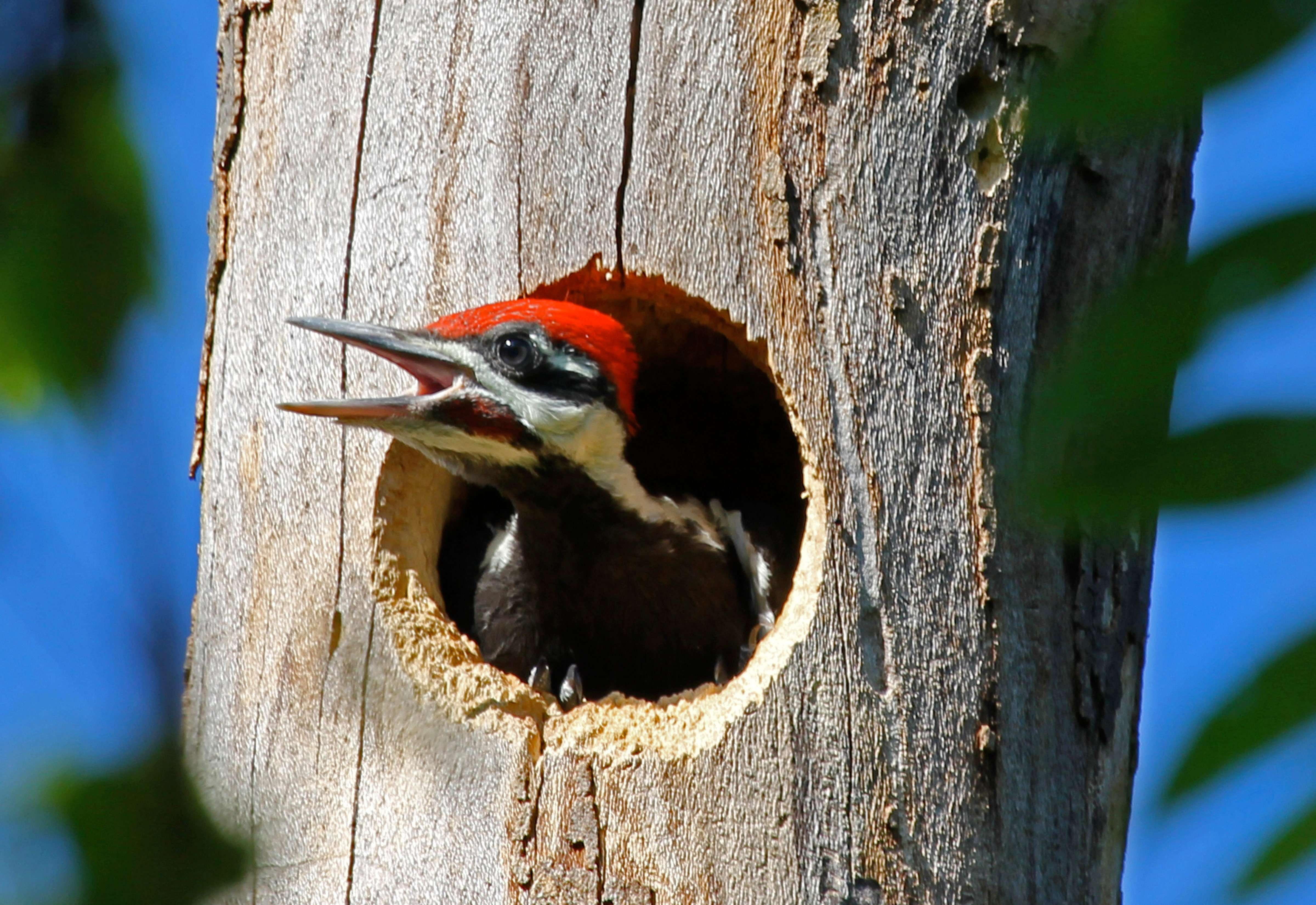 Young Male Pileated Woodpecker