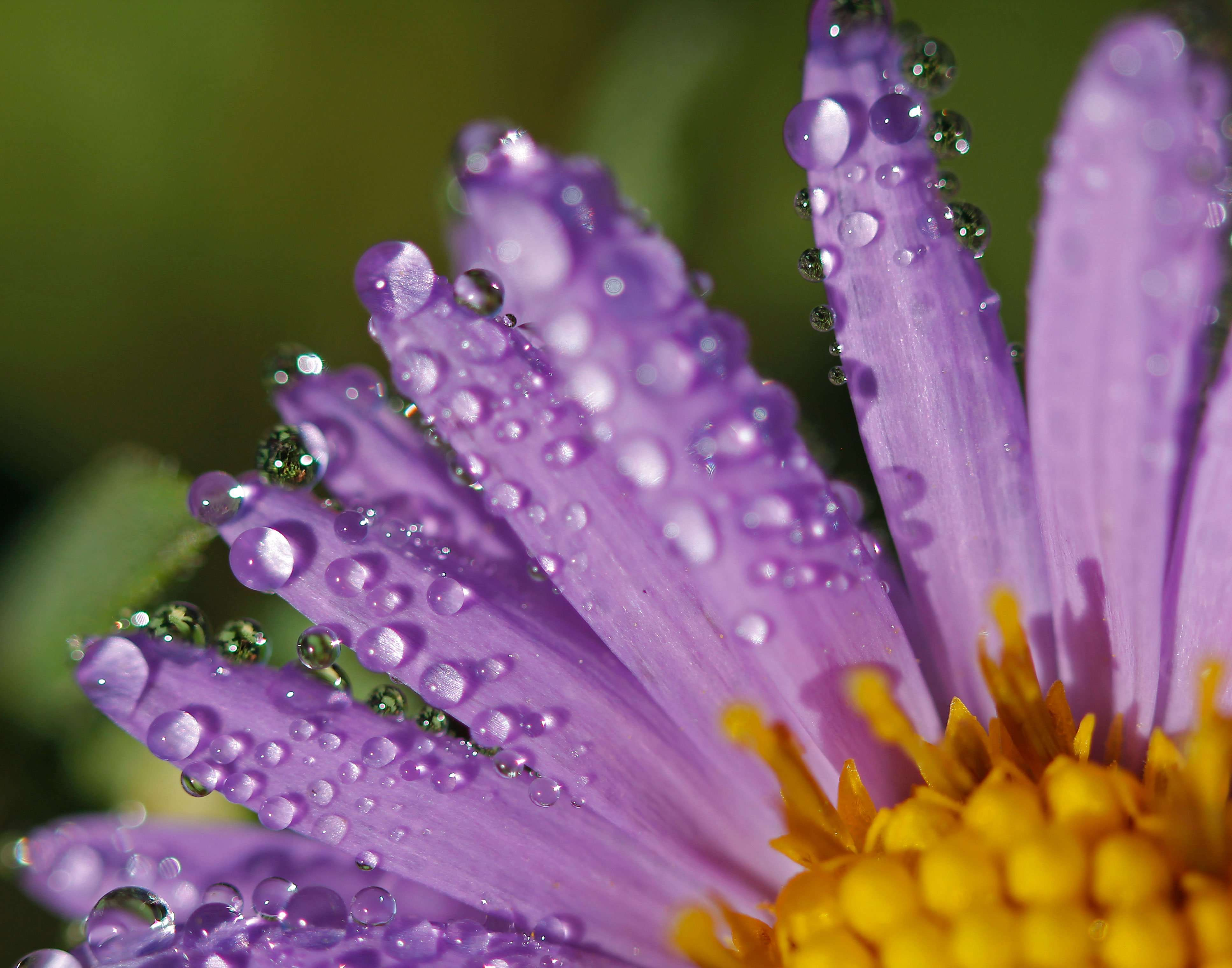 Wild Asters are beautiful native flowering forbs throughout Missouri's natural areas
