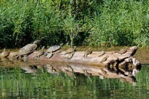 Current River Turtles Baker's Dozen
