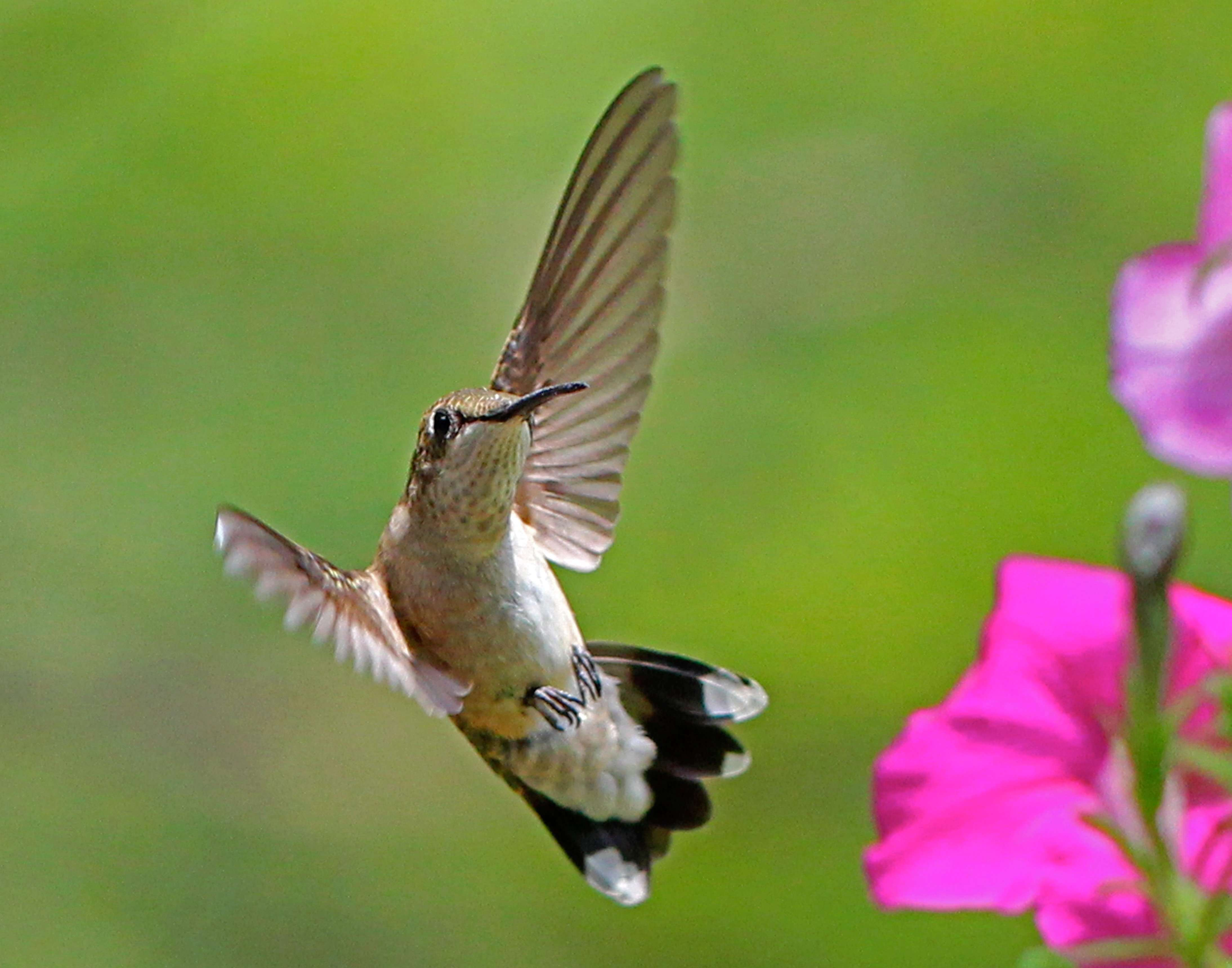 Young Male Ruby-throated Hummingbird Air-Dancing