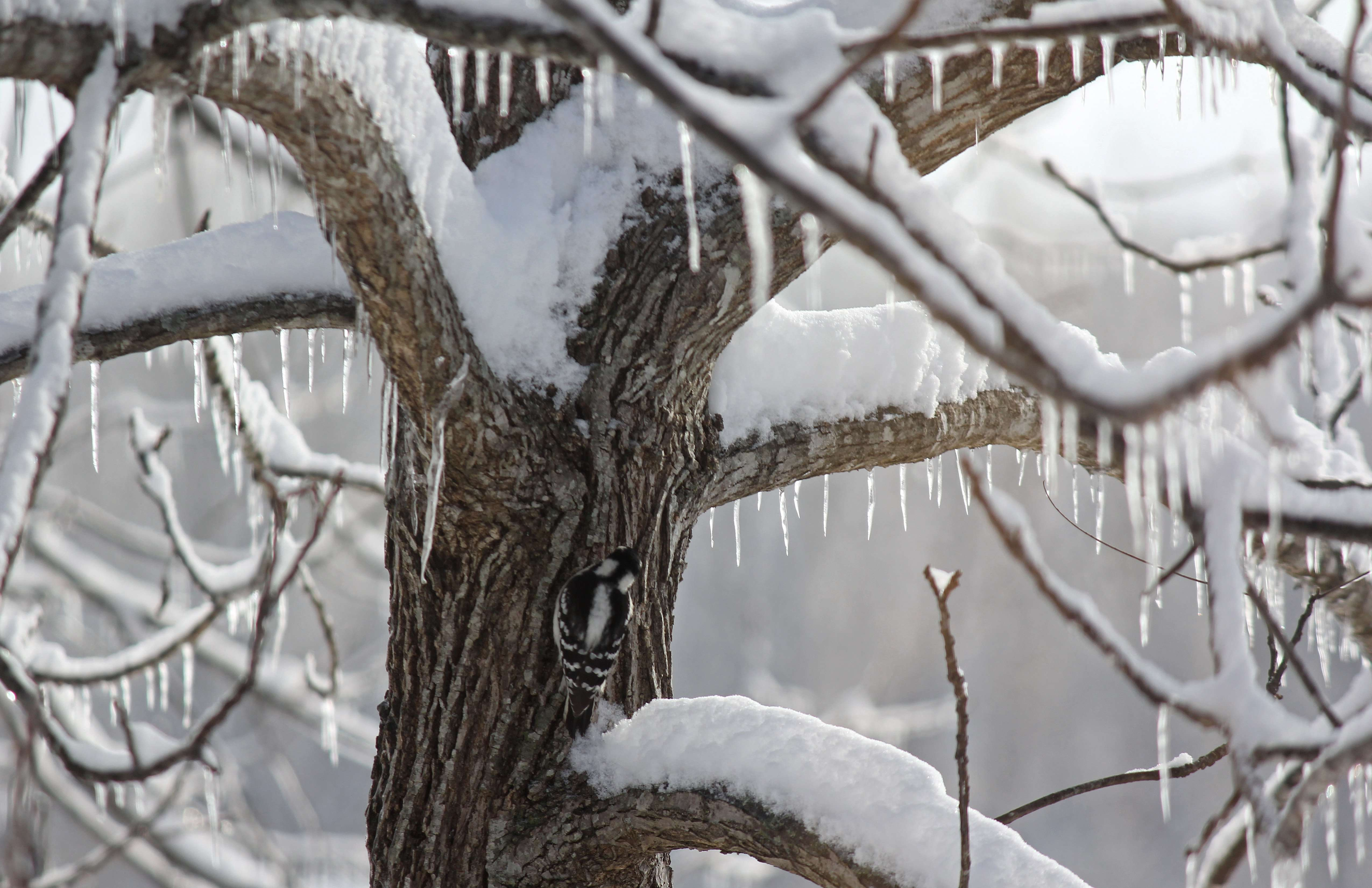 Wintertime Snow and Ice decorates Walnut Tree