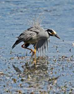 Photo of Yellow-crowned Night Heron after warning off another heron from feeding area