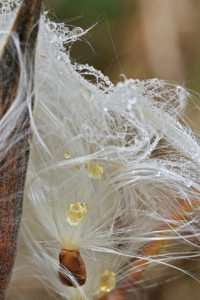 """Asclepias tuberosa disperses seeds with white """"hair"""" to help them carry on the wind."""