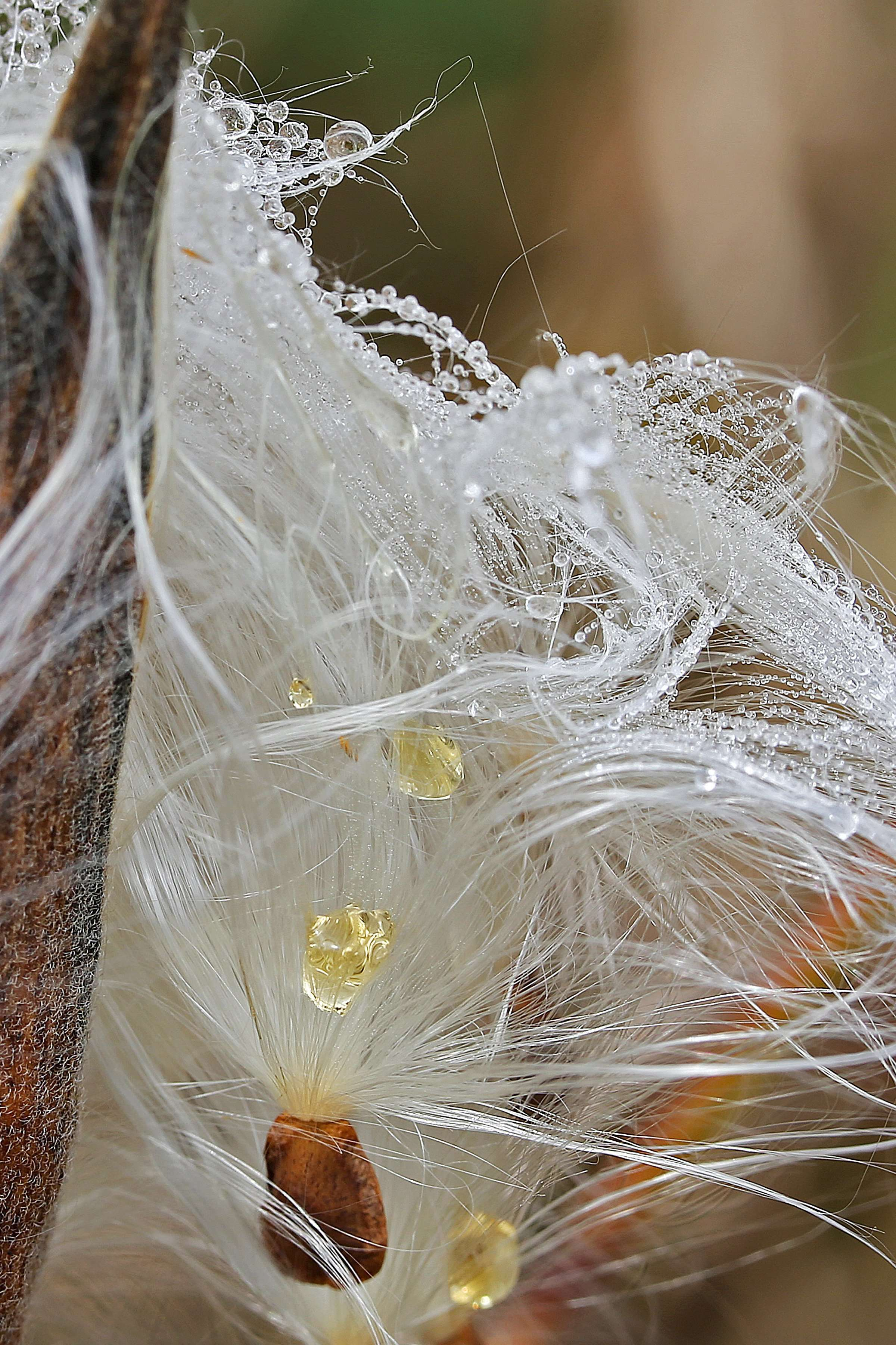 "Asclepias tuberosa disperses seeds with white ""hair"" to help them carry on the wind."