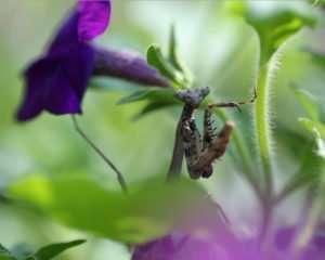 Immature Brown Praying Mantis in petunias