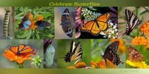 variety of butterflies to raise awareness & appreciation of butterflies and all Lepidoptera