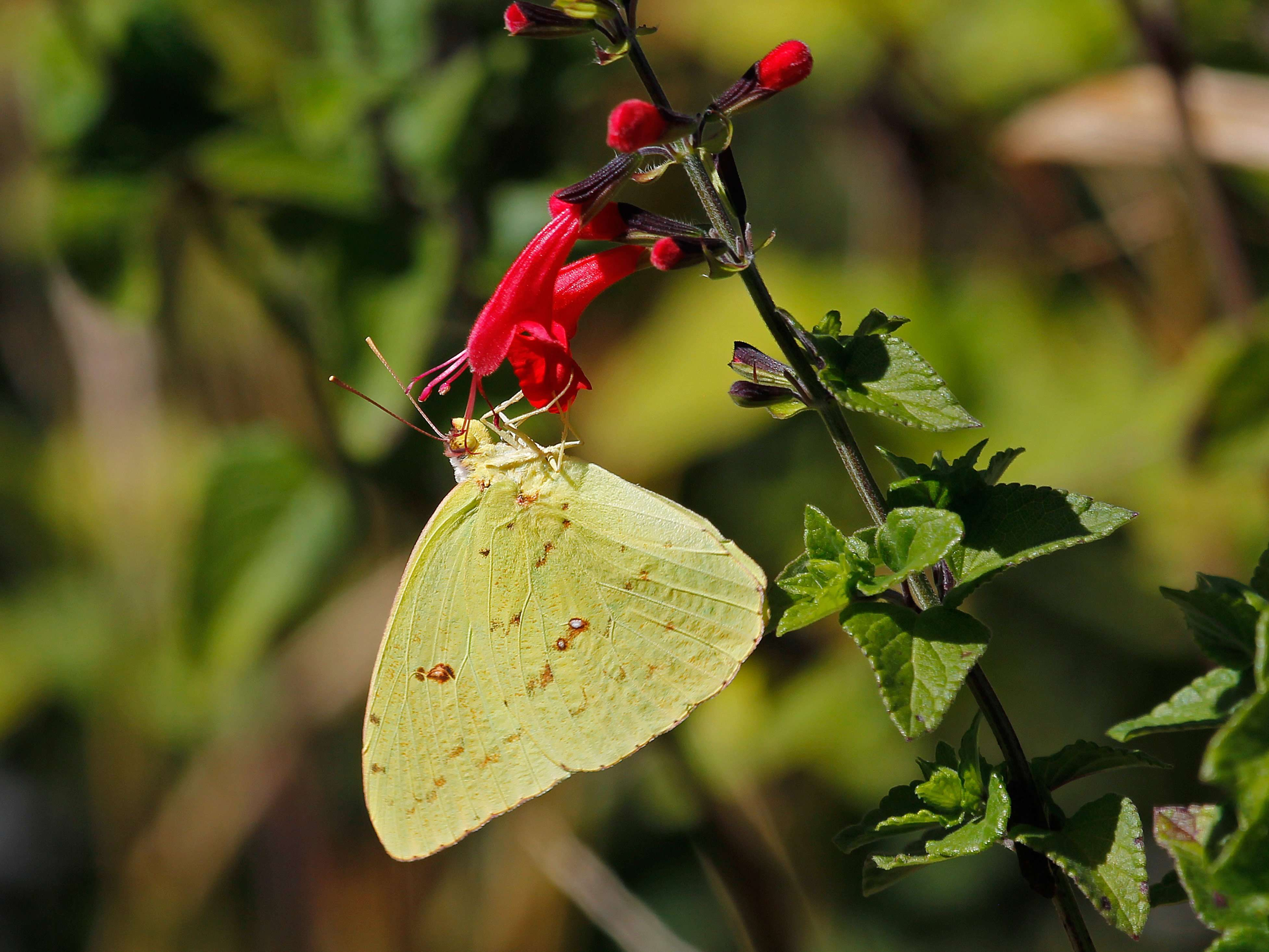 Cloudless Sulfur Butterfly on Scarlet Sage