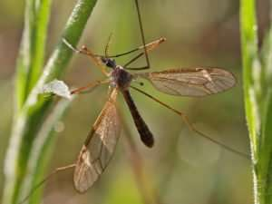 Crane Fly with dewdrops - note its