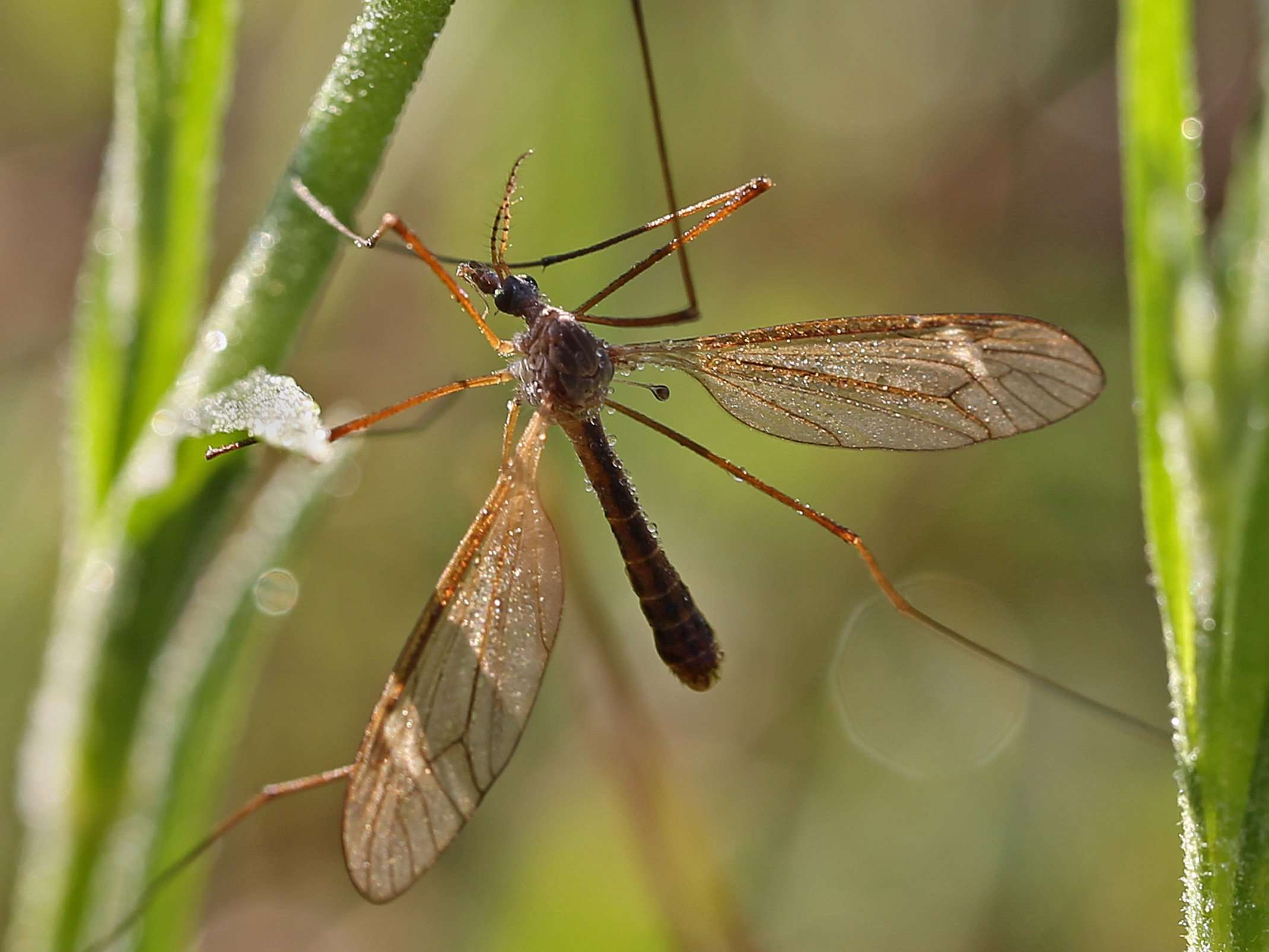 "Crane Fly with dewdrops - note its ""Haltere"""