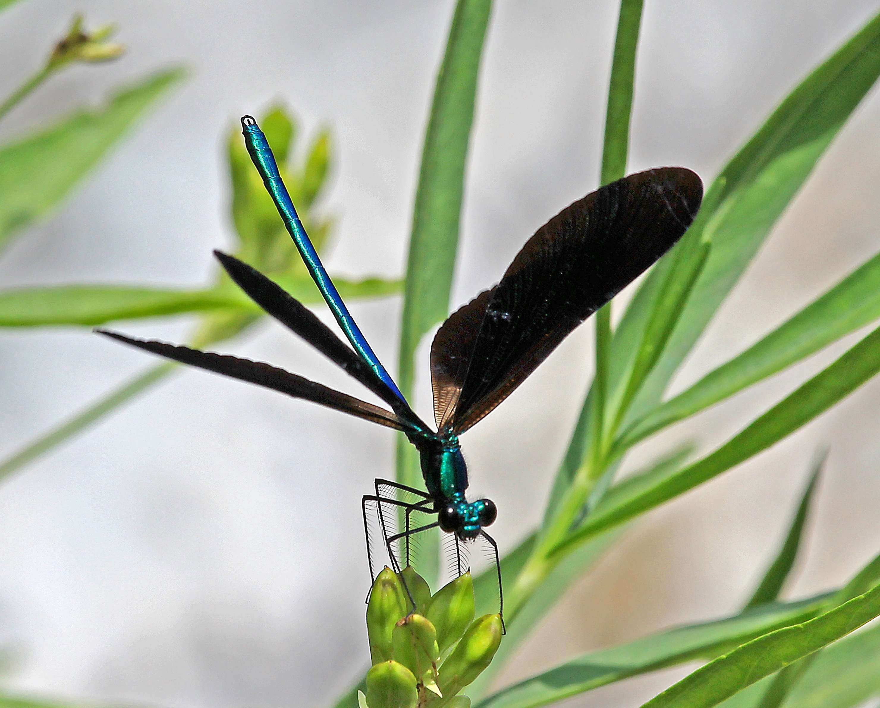 macro of Ebony Jewelwing Damselfly Macro