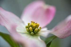 Some native dogwoods turn pink
