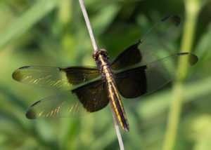 Widow Skimmer Dragonfly in Regal Tallgrass Prairie