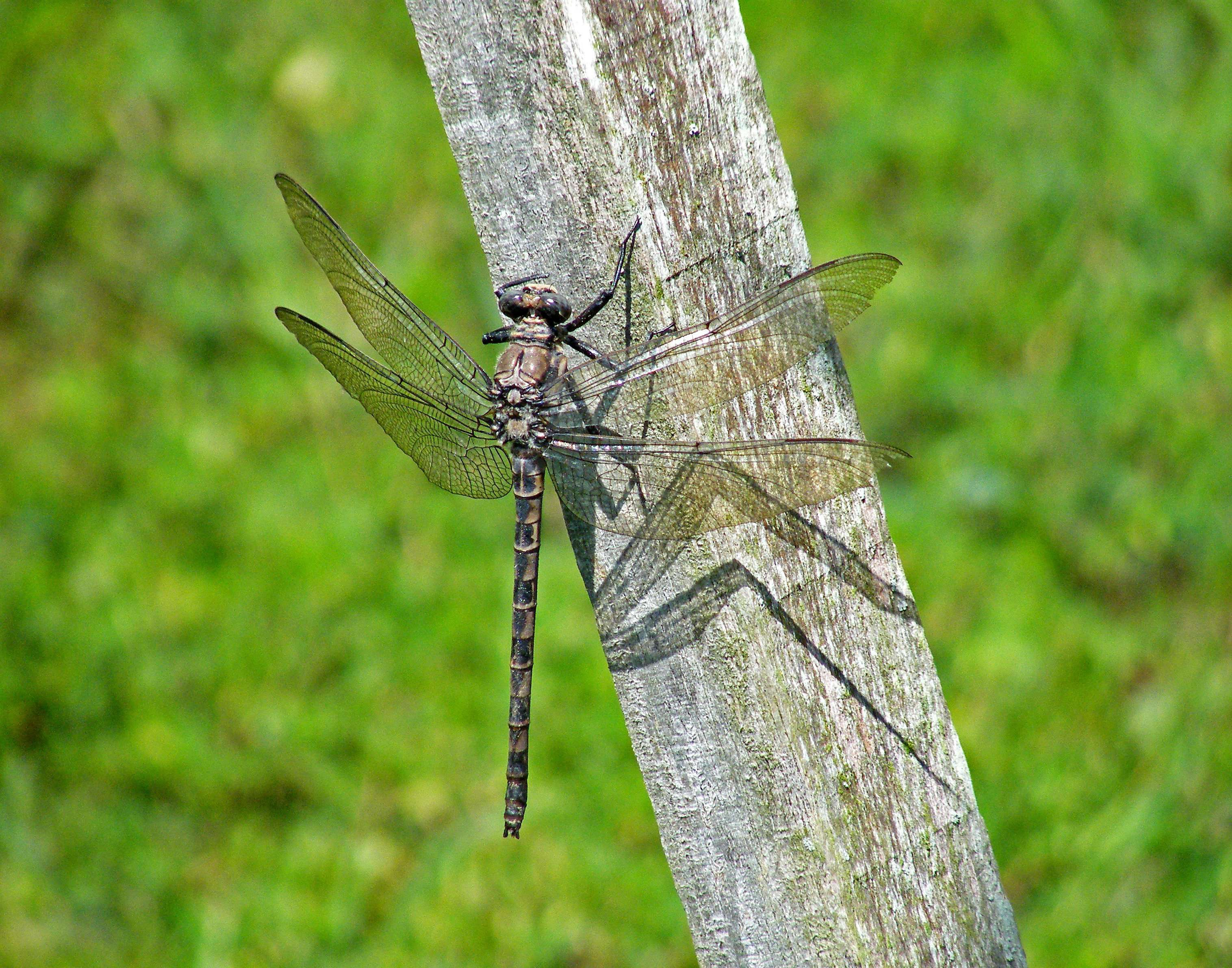 unidentified large dragonfly