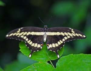 giant swallowtails in Ozarks are indeed very large, and very beautiful