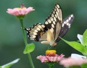 Beautiful Giant Swallowtail on zinnias
