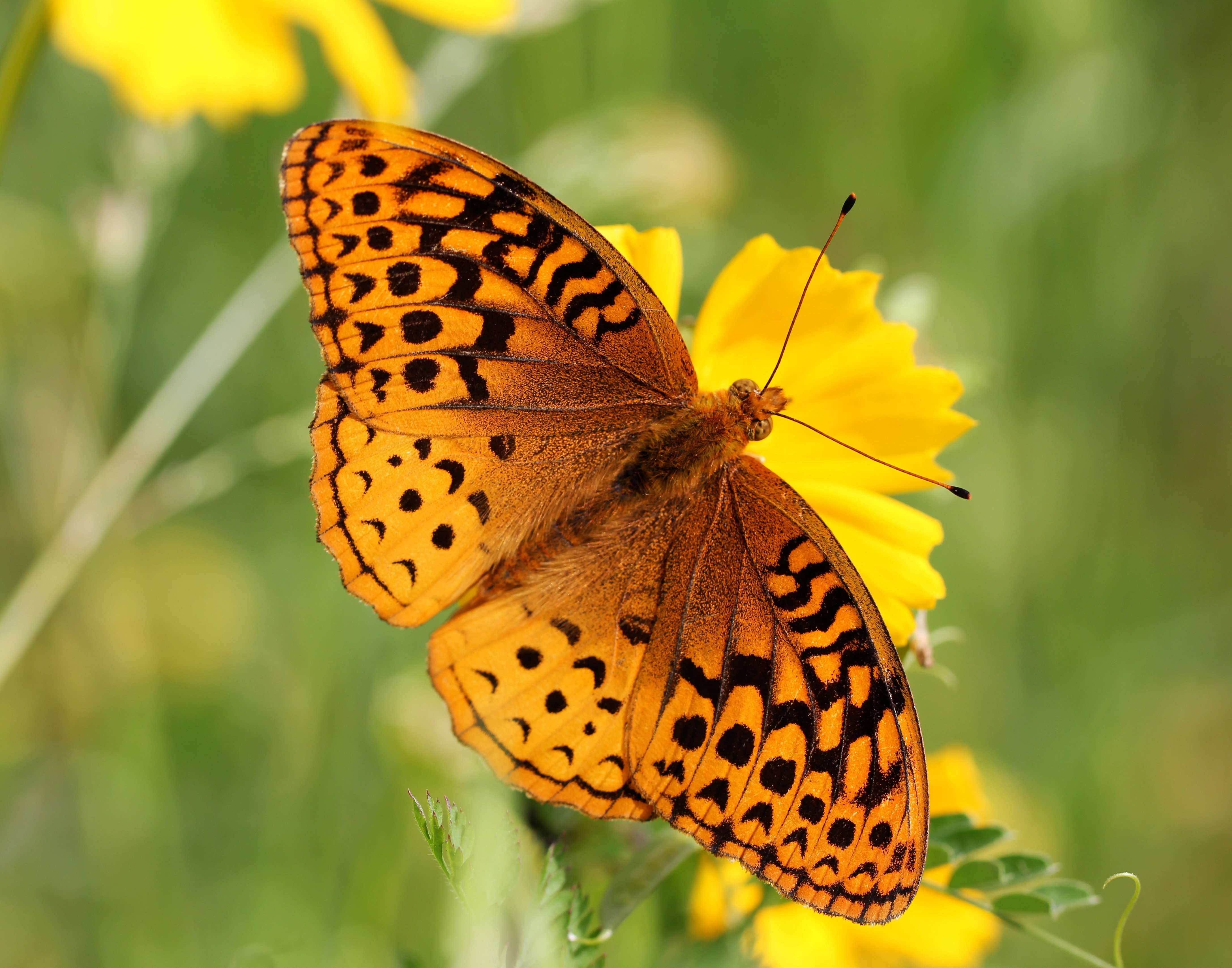 Great Spangled Fritillary - dorsal view