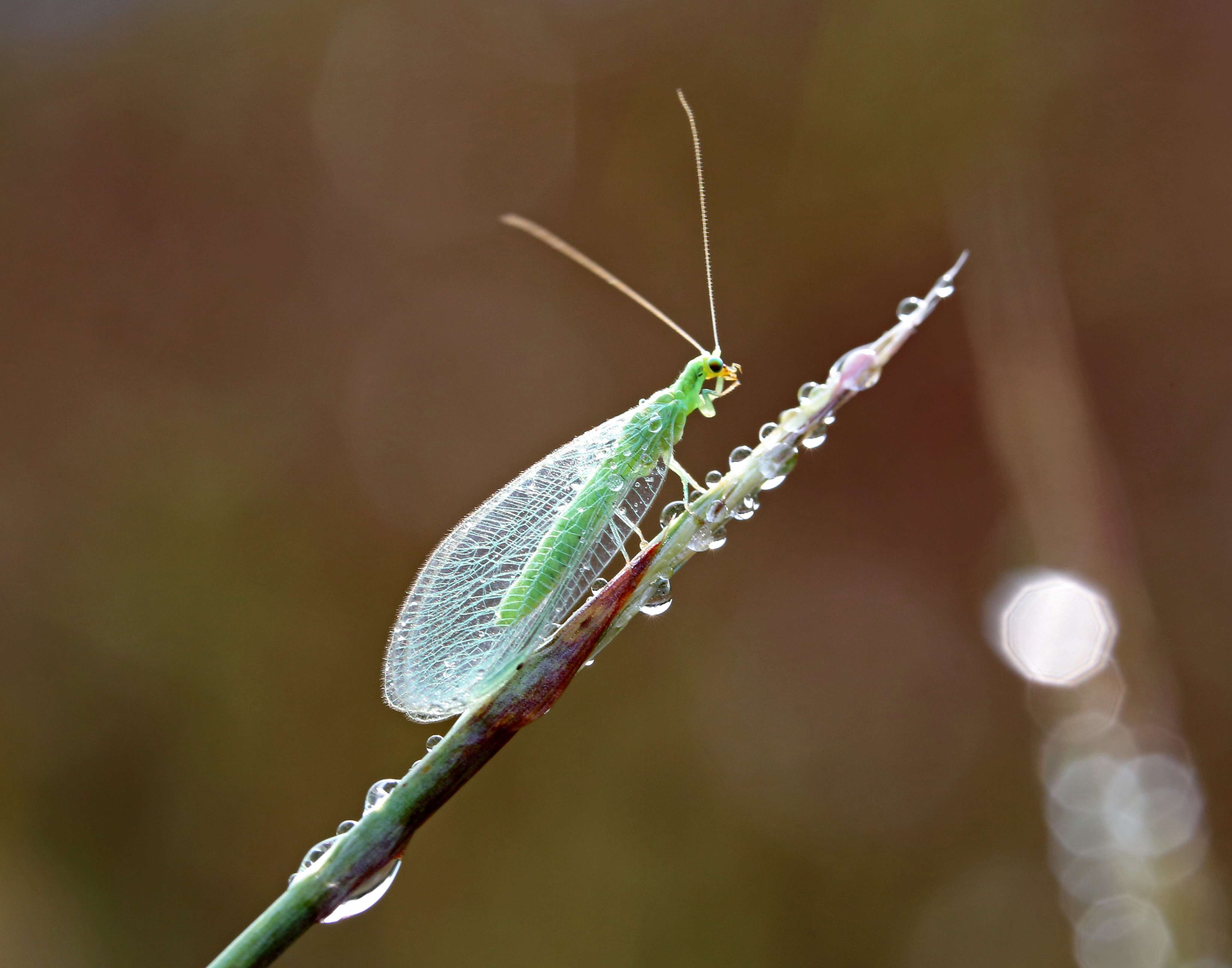 Green Lacewing on Little Bluestem - Lacewings are helpers in the garden