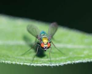 Long Legged Fly is a predator and does not bite people